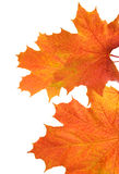 Orange autumn leaves. Stock Photography