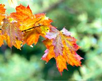 Orange autumn leaves stock images