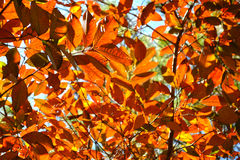 Orange autumn leaves background on forest. Royalty Free Stock Photography