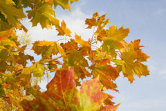 Orange autumn leaves on blue sky background Stock Images