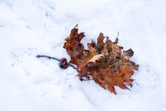 Orange autumn leaves, on a snowy, icy ground Stock Photo