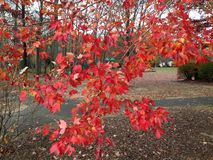 Orange autumn leaves on tree in park Stock Images