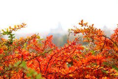 Orange autumn maple leaf alley Royalty Free Stock Photo