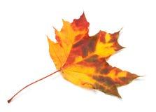 Orange autumn maple leaf Stock Image