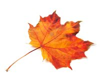 Orange autumn maple-leaf Royalty Free Stock Image