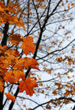 Orange Autumn Maple Leaves Stock Images