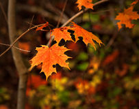Orange autumn maple leaves Stock Photo