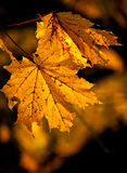 Orange autumn maple leaves background Stock Image