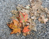 Orange Autumn Maple Leaves on Concrete Stock Photography