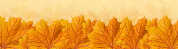 Orange autumn maple leaves, panorama Stock Photo