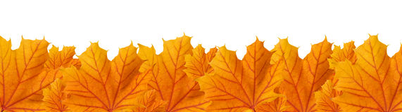 Orange autumn maple leaves, panoramic view Royalty Free Stock Image