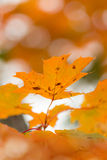 Orange autumn maple leaves with shallow focus Stock Photos