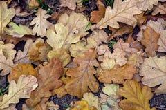 Orange autumn oak leaves Stock Photos