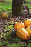 Orange Autumn Pumpkins. Orange Pumpkins. Autumn vegetables concept. Halloween Pumpkin vegetables from the garden in the countryside with vertical composition Stock Images