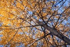 Orange autumn tree. Royalty Free Stock Photos