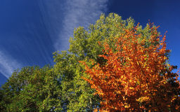 Orange autumn tree pattern and blue sky Royalty Free Stock Images
