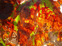 Orange autumn vine leaves backlit and spider web1. Orange autumn vine leaves backlit and spider web Stock Photos