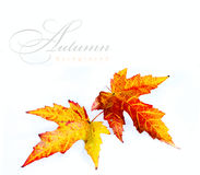 Orange autumn wet maple leaf Stock Photo