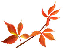 Orange autumnal twig of grapes leaves (Parthenocissus quinquefol Royalty Free Stock Photography