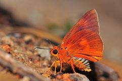 Orange Awlet butterfly Stock Image