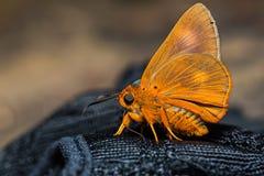 Orange Awlet butterfly Stock Image