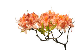 Orange azalea Royalty Free Stock Image