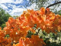 Orange azalea blossoms on a spring day. Corvallis, Oregon, May 2015: Orange azalea flowers on a spring day with sunlight glowing through the blossoms stock image