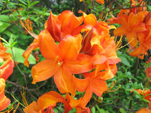 Orange azalea. Fresh blossom of orange azalea Stock Photo