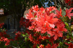 Orange azaleas Royalty Free Stock Image