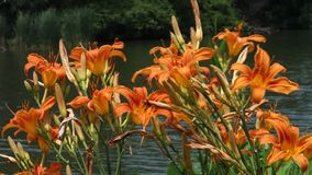 Orange  Lilies stock footage