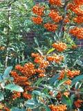 orange bär Royaltyfri Bild