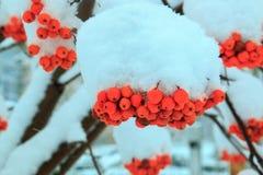 Orange Bündel der Eberesche umfasst mit einer Schneekappe Lizenzfreie Stockbilder