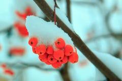 Orange Bündel der Eberesche umfasst mit einer Schneekappe Lizenzfreie Stockfotografie