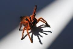 Orange babianspindel 2 Arkivbild