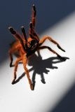 Orange Baboon Spider. This is a feisty baboon Spider/Tarantula Royalty Free Stock Images