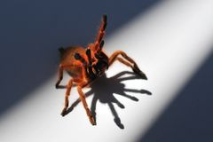 Orange Baboon Spider 2. This is a feisty baboon Spider/Tarantula Stock Photography