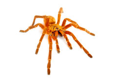 Orange Baboon Tarantula Royalty Free Stock Image