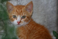Orange baby. Orange kitten Stock Photography