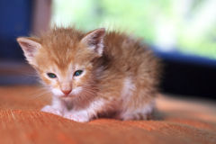 Orange Baby Kitten Stock Images