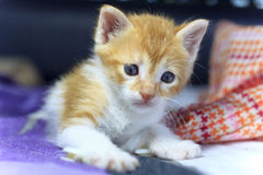 Orange baby kitten. Royalty Free Stock Images
