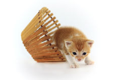 Orange baby kitten. Royalty Free Stock Photo