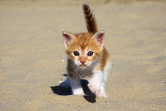 Orange baby kitten Royalty Free Stock Image