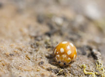 Orange baby ladybird or ladybug Royalty Free Stock Photo