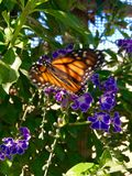 Monarch Butterfly on Purple Flowers. Orange and back-winged monarch butterfly has alighted for a moment on a plant with small purple flowers stock image