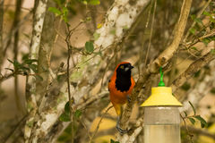 Orange-backed Troupial, Perched on Tree Branch,Front view. A beautiful bright orange and black feathered bird in the oriole family, with a large pointed black royalty free stock photo