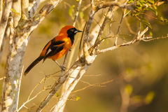 Orange-backed Troupial, Perching on Tree Branch Royalty Free Stock Image