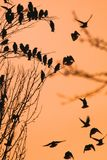 Roosting starlings gather on a tree against an orange sky stock photography