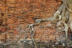 Orange Backsteinmauer mit altem Wurzelbaum Lizenzfreie Stockfotos
