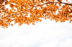 Orange bakgrund för bladöverkantram Arkivfoto