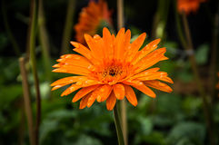 Orange bakgrund för gerberablommanatur Royaltyfria Bilder